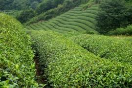 La divination par les feuilles de thé